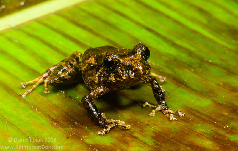 One of the many forms of Golden-groined rainfrog (<i>Pristimantis cruentus</i>) Rara Avis Rainforest Reserve, Costa Rica
