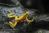 Critically endangered Panama's famous golden frog- <i>Atelopus zeteki</i>