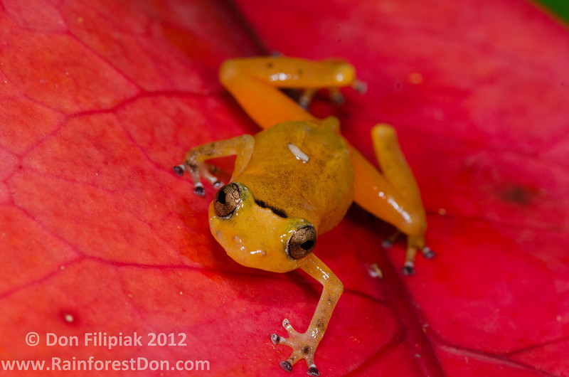 <i>Diasporus citrinobapheus</i>- a species of tink frog that was just described in May, 2012 Note the diptera larva on the dorsum El Valle, Panama June, 2012