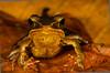 Brilliant Forest Frog (<i>Lithobates warszewitschii</i>) Rara Avis Rainforest Reserve, Costa Rica