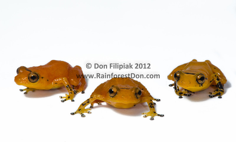 Three individuals of Yellow Dyer Tink Frog (<i>Diasporus citrinobapheus</i>), a species that was just described in May of 2012 from the mountains of western Panama. Parque Nacional Omar Torrijos, El Cope, Panama September, 2012