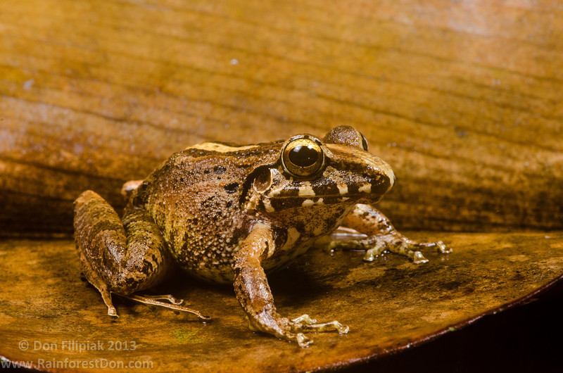 A large female Common rainfrog (<i>Craugastor fitzingeri</i>) Rara Avis Rainforest Reserve, Costa Rica