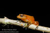 <i>Diasporus citrinobapheus</i>- a species of tink frog that was just described in May, 2012. Parque Nacional Omar Torrijos, El Cope, Panama  September, 2012