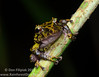 I found this undescribed species of rainfrog, genus: <i>Pristimantis</i>, in the mountains of El Cope, Panama. It is closely related to the Golden-groined Rainfrog (<i>Pristimantis cruentus</i>).
