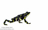 The endangered Limosa harlequin toad (<i>Atelopus limosus</i>) Panama May 2013