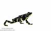 The endangered Limosa harlequin toad (<i>Atelopus limosus</i>) Panama May 2013