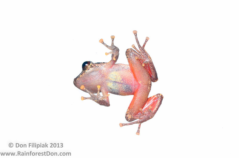 Pygmy rainfrog (<i>Pristimantis ridens</i>) Finca La Escondida, Costa Rica