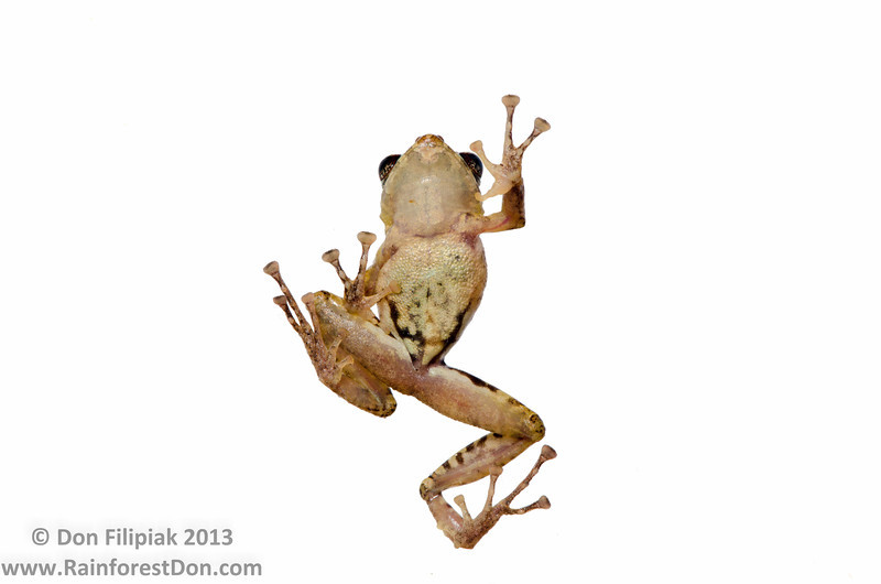 Golden-groined Rainfrog (<i>Pristimantis cruentus</i>) This is an extremely variable species that most likely consist of a complex of 5-10 distinct species.