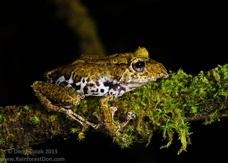 One of the many interesting forms of Golden-groined rain frog (<i>Pristimantis cruentus</i>) Talamanca Mountains, Costa Rica June 2013