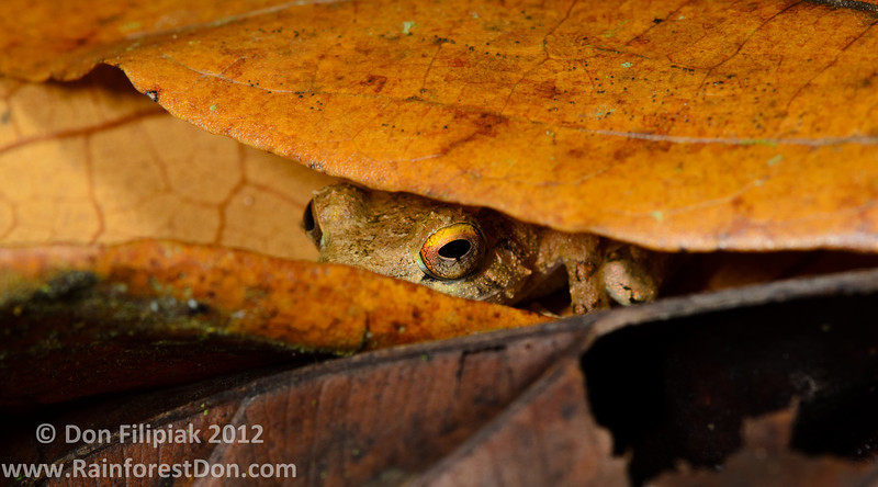 A Clay-colored Rainfrog (<i>Pristimantis cerasinus</i>) checking to see if the coast is clear