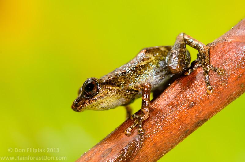 Common tink frog (<i>Diasporus diastema</i>) Rara Avis Rainforest Reserve, Costa Rica