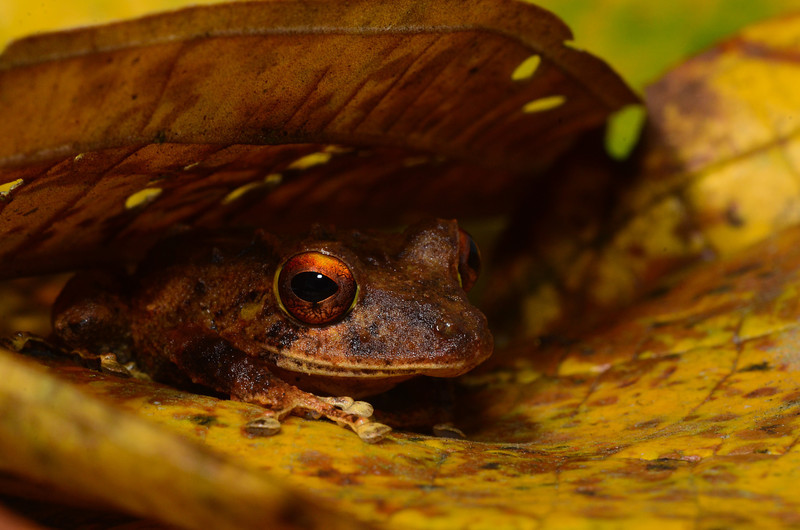 Clay-colored Rainfrog (<i>Pristimantis cerasinus</i>) fulfilling its role as a leaf litter frog Rara Avis Rainforest Reserve, Costa Rica