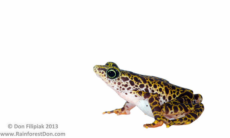 One of Panama's endemic beauties, the Toad Mountain harlequin toad (<i>Atelopus certus</i>) Panama May 2013