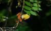 Yellow Dyer Tink Frog (<i>Diasporus citrinobapheus</i>)- a species of tink frog that was just described in May, 2012. Parque Nacional Omar Torrijos, El Copé, Panama  September, 2012