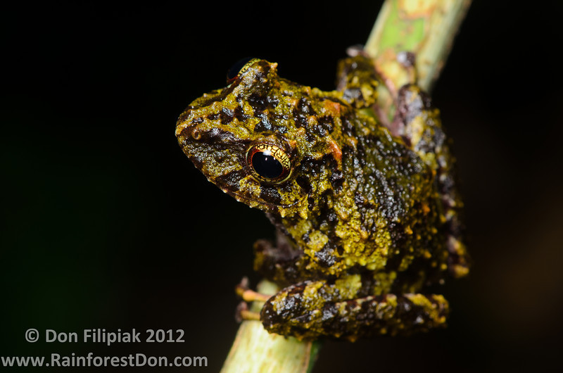 I found this undescribed species of rainfrog, genus <i>Pristimantis</i>, in the mountains of El Cope, Panama. It is closely related to the Golden-groined Rainfrog (<i>Pristimantis cruentus</i>).