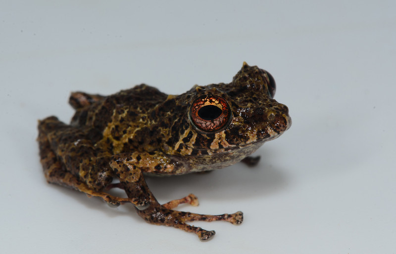 While Golden-groined Rainfrog (<i>Pristimantis cruentus</i>) eyes can vary dramatically in regards to color, they usually have the reticulations present in the iris.