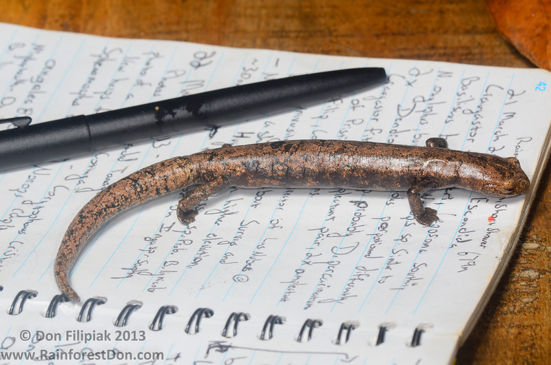 Biggest <I>Bolitoglossa</i> ever, this salamander was HUGE! Lichen-colored Salamander (<i>Bolitoglossa lignicolor</i>) La Escondida, Costa Rica