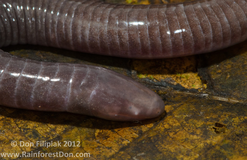 <i>Gymnopis multiplicata</i> Tropenstation La Gamba, Costa Rica