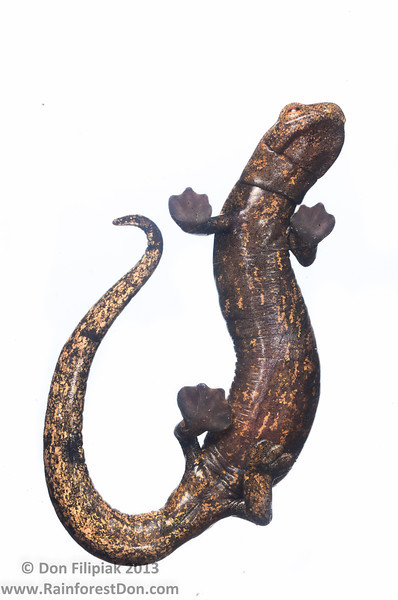 Completely webbed feet, no lungs, and a lightning fast projectile tongue! Lichen-colored Salamander (<i>Bolitoglossa lignicolor</i>) La Escondida, Costa Rica