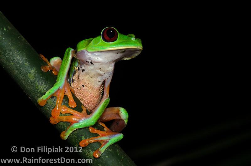 Red-eyed Treefrog (<i>Agalychnis callidryas</i>) from Gamboa, Panama