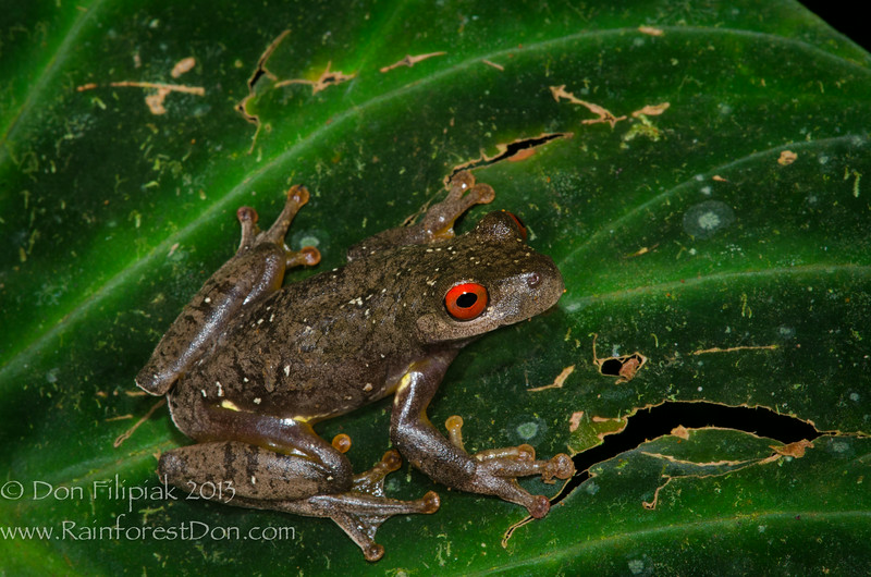 Ptychohyla legleri     IUCN: Endangered