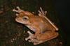 Drab Treefrog (Smilisca sordida)