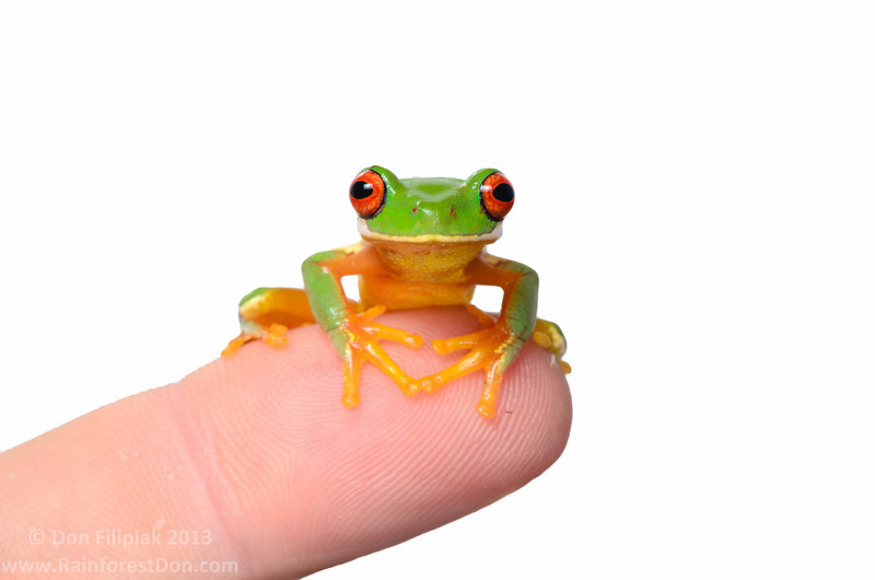 Red-eyed streamfrog (Duellmanohyla uranochroa)