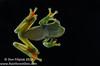 Scarlet-webbed Treefrog (Hypsiboas rufitelus)
