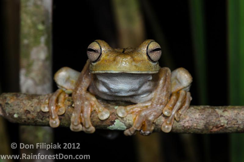Gladiator Treefrog (Hypsiboas rosenbergi)