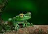 Scarlet-webbed Treefrog's (Hypsiboas rufitelus)
