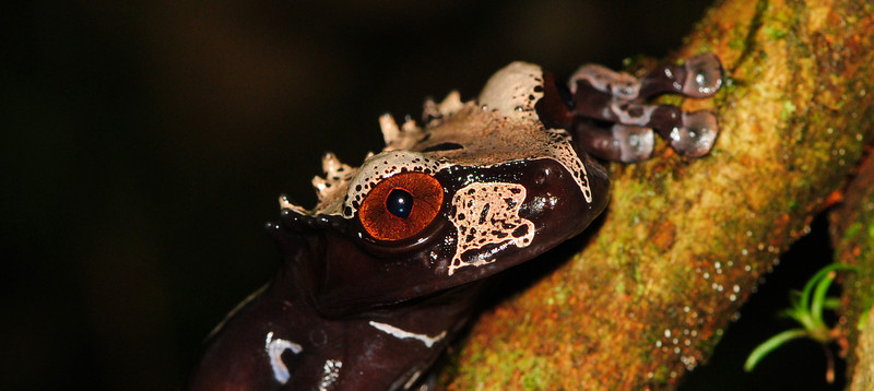 Crowned Treefrog (Anotheca spinosa)