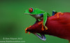 An iconic rainforest symbol, the Red-eyed Treefrog (<i>Agalychnis callidryas</i>)