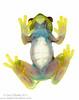 Hyloscirtus colymba