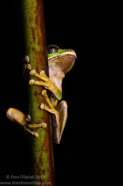 Masked treefrog (Smilisca phaeota)