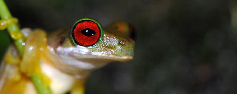 Rufous-eyed Stream Frog, Duellmanohyla rufioculis