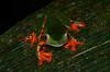 Gray-eyed Leaffrog (Cruziohyla calcarifer)