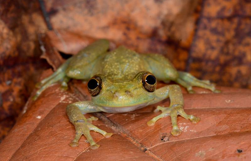 Olive-snouted Treefrog (Scinax elaeochrous)