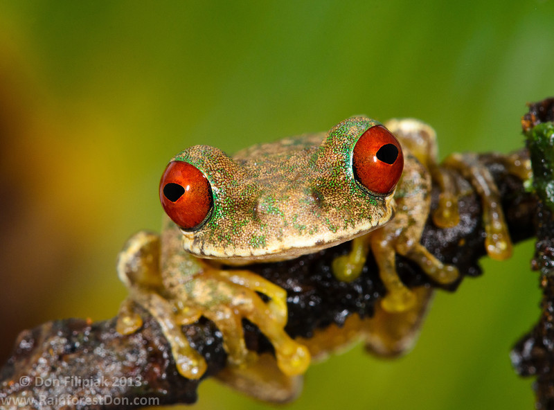 Rufous-eyed stream frog (Duellmanohyla rufioculis)