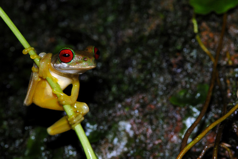 Rufous-eyed Stream Frog,  <i>Duellmanohyla rufioculis</i>