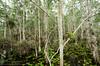 Green treefrog (<i>Hyla cinerea</i>) in habitat, a cypress dome Everglades National Park, Florida July 2013