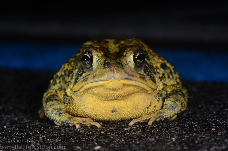 A large female Southern toad (<i>Bufo terrestris</i>) from the Florida Everglades