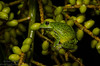 Barking treefrog (<i>Hyla gratiosa</i>) Jupiter, Florida July 2013