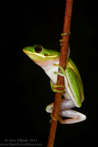 Green treefrog (<i>Hyla cinerea</i>) Everglades National Park, Florida