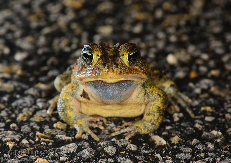 A calling male Southern toad (<i>Bufo terrestris</i>) Everglades National Park, Florida