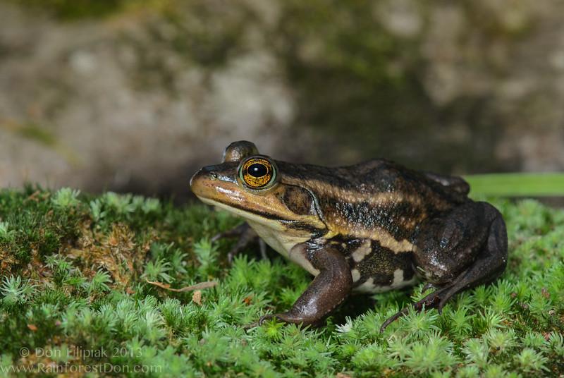 Carpenter frog (<i>Lithobates virgatipes</i>) Croatan National Forest, North Carolina September 2013