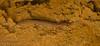 Larval Red salamander (Pseudotriton ruber)
