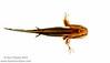 Frosted Flatwoods Salamander (Ambystoma cingulatum) larva