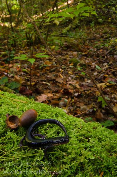 Chattahoochee slimy salamander (Plethodon chattahoochee)