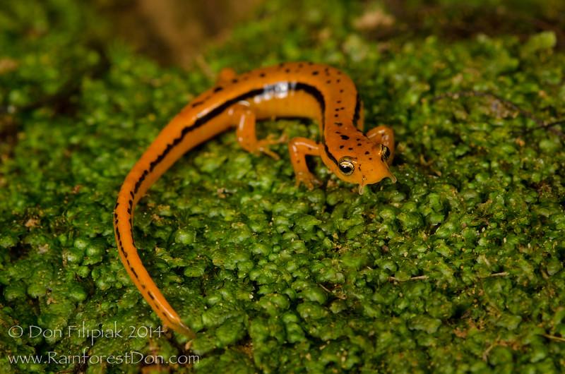 Southern Two-lined Salamander (Eurycea cirrigera)