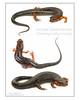 Ocoee Salamander (Desmognathus ocoee)